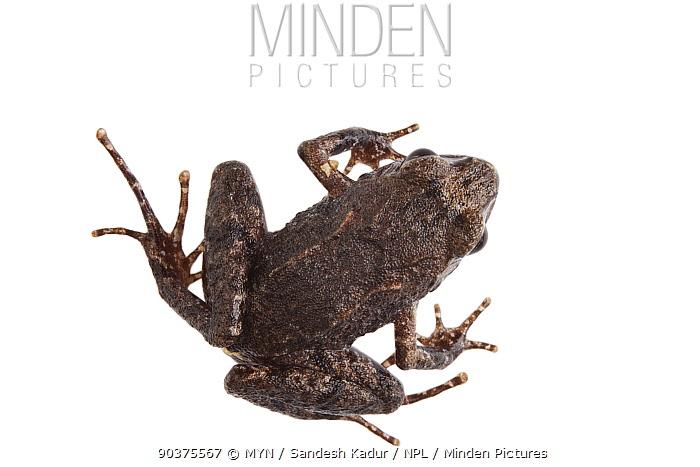 Frog (Nanorana sp) Talle Valley Sanctuary, Arunachal Pradesh, India meetyourneighboursnet project  -  MYN/ Sandesh Kadur/ npl