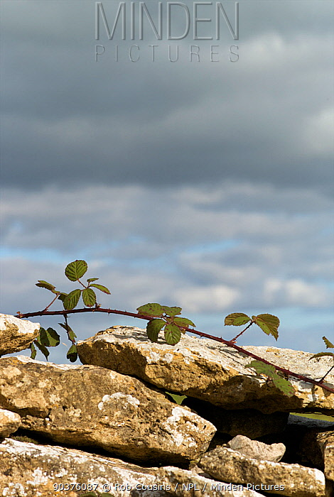 Bramble (Rubus fructicosus) growing along the top of a dry stone wall, Cotswolds, Gloucestershire, UK  -  Rob Cousins/ npl