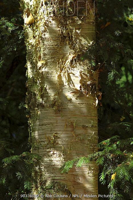 Paper birch (Betula papyrifera), close up of bark, Westonbirt Arboretum, Gloucestershire, UK, October  -  Rob Cousins/ npl