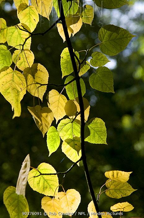 Common lime leaf (Tilia x europaea) Westonbirt Arboretum, Gloucestershire, UK, October  -  Rob Cousins/ npl