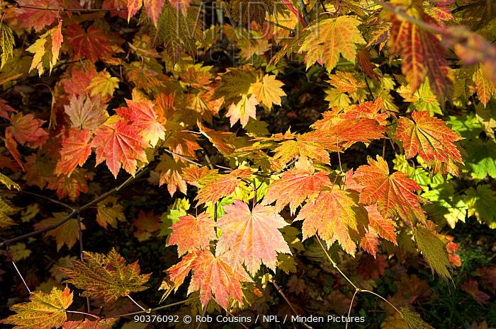 Maple (Acer sp) leaves in autumn, Westonbirt Arboretum, Gloucestershire, UK, October  -  Rob Cousins/ npl