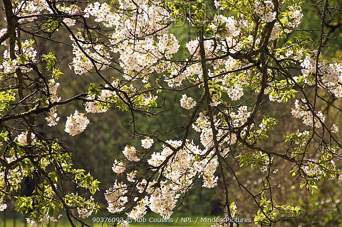 Yoshino Cherry (Prunus x yedoensis) blossom, Westonbirt Arboretum, Gloucestershire, UK, April  -  Rob Cousins/ npl