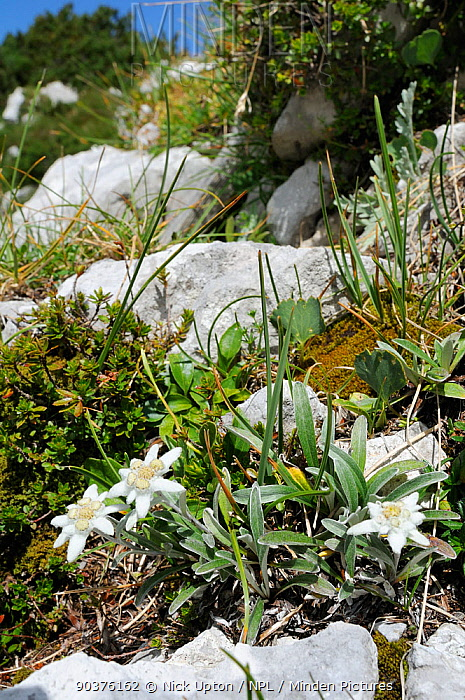 Edelweiss (Leontopodium alpinum) flowering among limestone boulders at 1800m with Dwarf pine trees (Pinus mugo) in the background, Triglav National Park, Julian Alps, Slovenia, July  -  Nick Upton/ npl