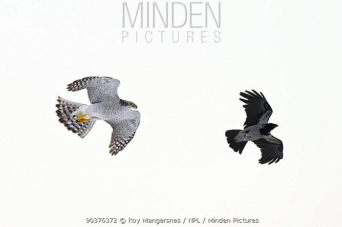 Northern Goshawk (Accipiter gentilis) chasing a Hooded crow (Corvus cornix) Southern Norway, December  -  Roy Mangersnes/ npl