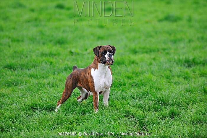 Boxer in field  -  David Pike/ npl