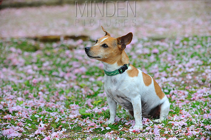 Female Jack russell terrier sitting on ground surrounded by fallen blossom  -  David Pike/ npl