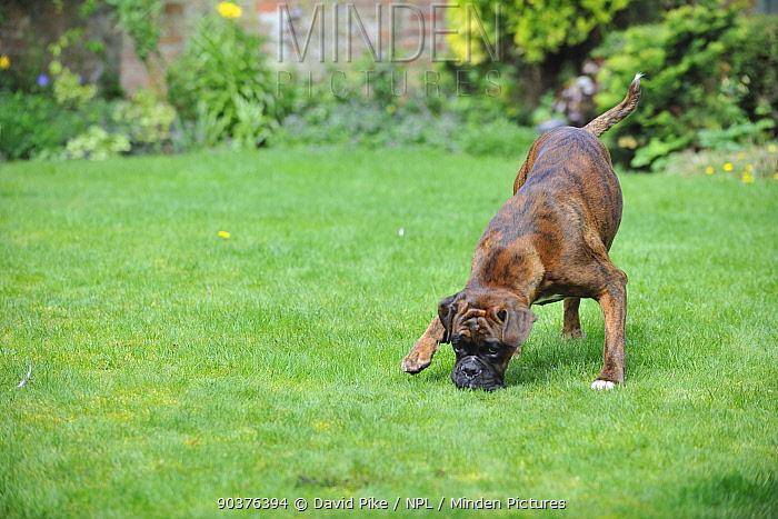 Boxer sniffing ground in garden  -  David Pike/ npl