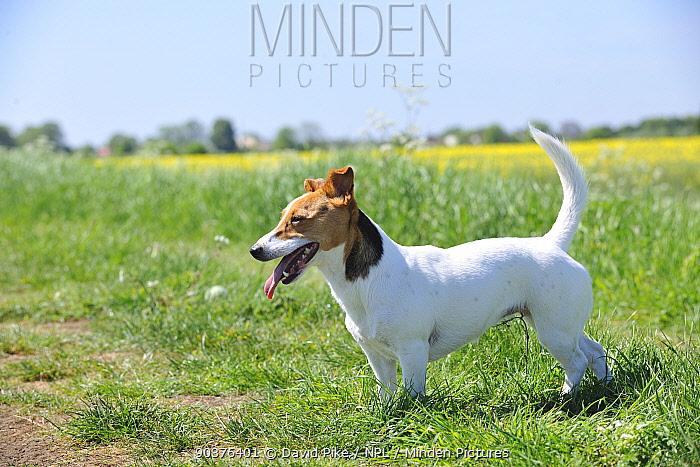 Female Jack russell terrier panting in field  -  David Pike/ npl