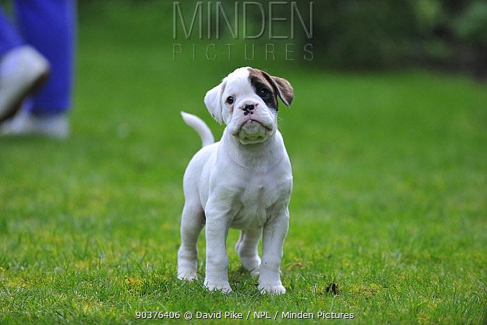 Boxer puppy, portrait  -  David Pike/ npl