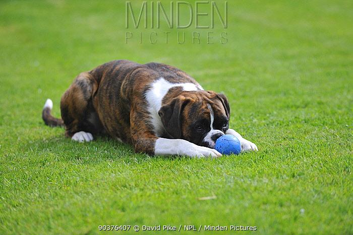 Boxer lying on ground with ball  -  David Pike/ npl