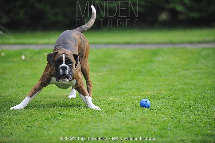 Boxer playing with ball  -  David Pike/ npl