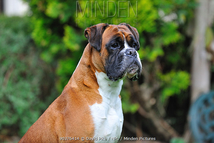 Boxer, portrait, sitting  -  David Pike/ npl