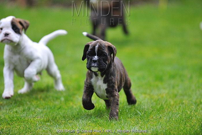 Two Boxer puppies running  -  David Pike/ npl