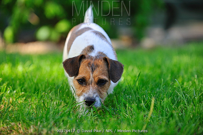 Jack russell terrier sniffing ground  -  David Pike/ npl