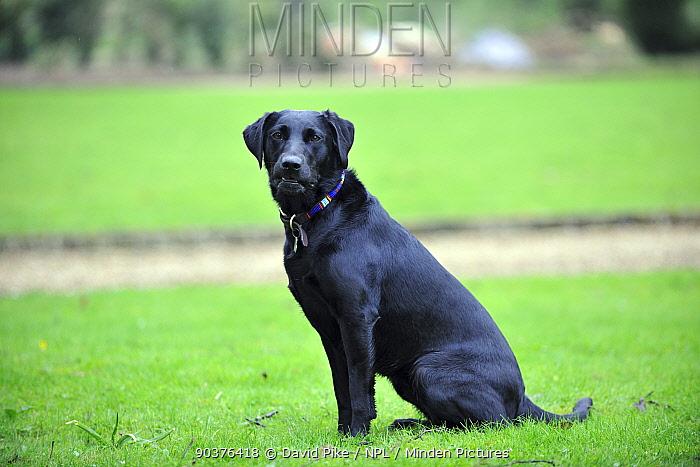 Black labrador sitting  -  David Pike/ npl