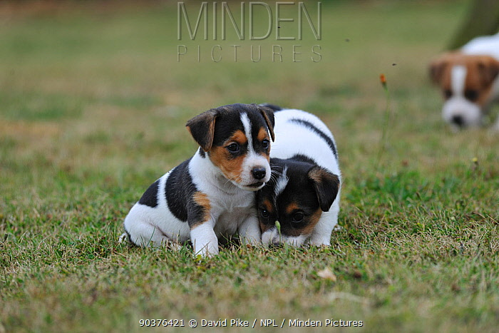 Two Jack russell terrier puppies interacting  -  David Pike/ npl