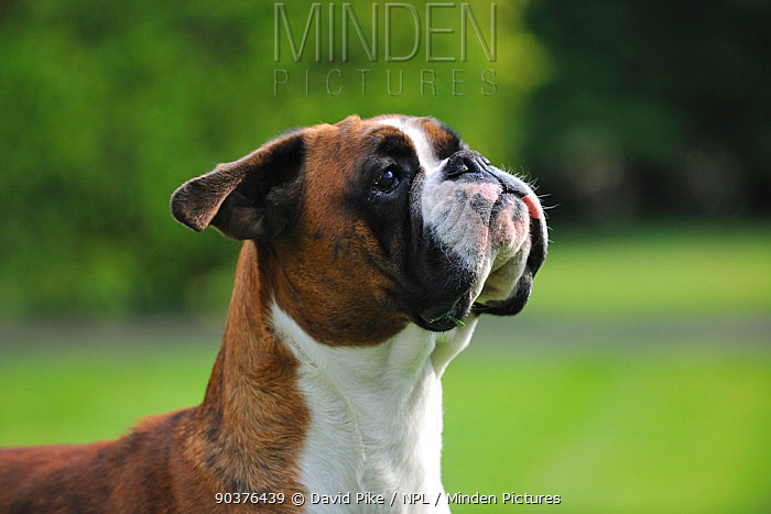 Boxer portrait  -  David Pike/ npl