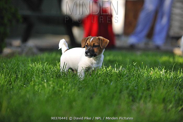 Jack russell terrier puppy in garden  -  David Pike/ npl