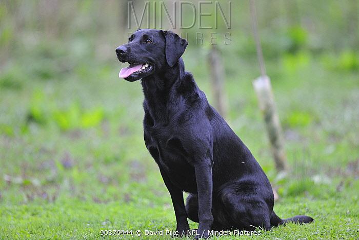 Black Labrador sitting with tongue showing  -  David Pike/ npl
