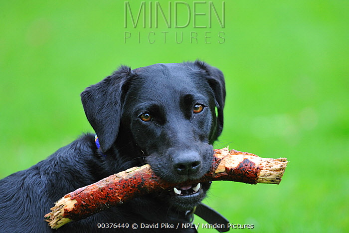 Black Labrador with stick in its mouth  -  David Pike/ npl