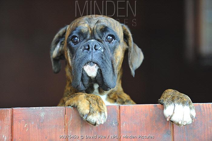 Boxer looking over closed door, standing on hind legs  -  David Pike/ npl