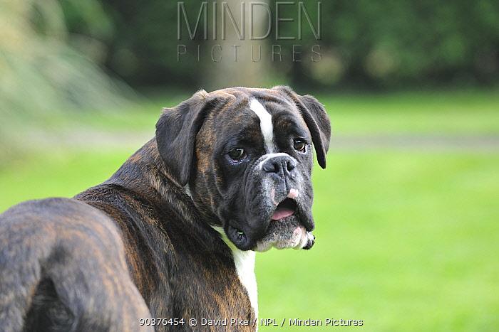 Boxer looking back over shoulder, portrait  -  David Pike/ npl