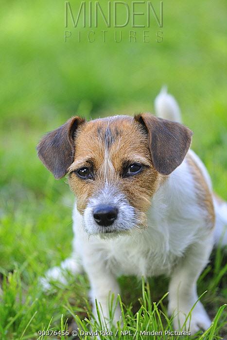 Jack russell terrier sitting  -  David Pike/ npl