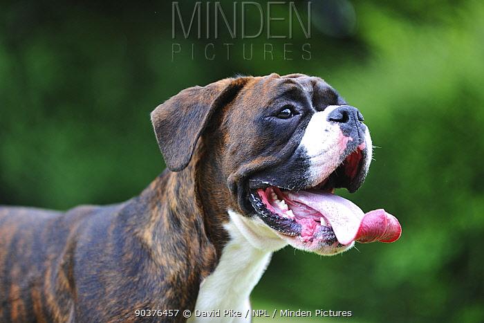 Boxer panting, portrait  -  David Pike/ npl