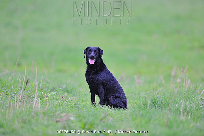 Black Labrador sitting in grassland  -  David Pike/ npl