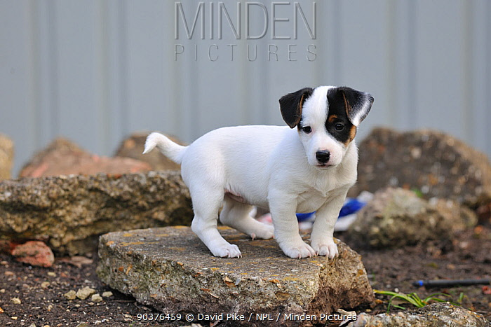 Jack russell terrier puppy standing on rubble  -  David Pike/ npl