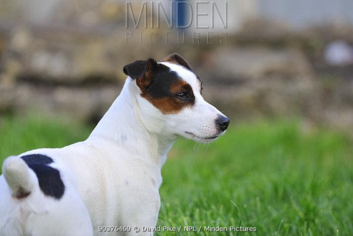 Jack russell terrier portrait  -  David Pike/ npl