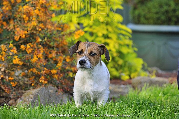 Jack russell terrier in garden  -  David Pike/ npl