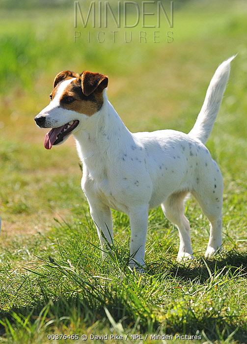 Female Jack russell terrier portrait  -  David Pike/ npl