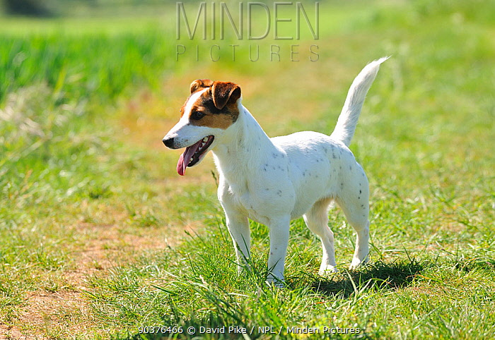 Female Jack russell terrier in field  -  David Pike/ npl