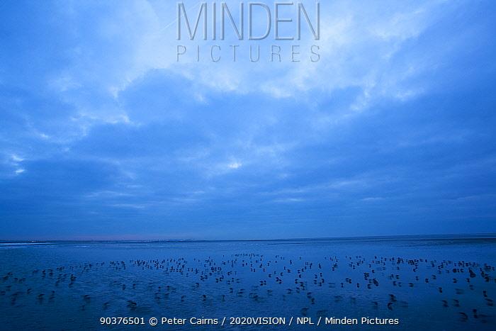 Flock of Sanderling (Calidris alba) feeding on mudflats in winter, Morecambe Bay, Cumbria, England, UK, February  -  Peter Cairns/ 2020V/ npl