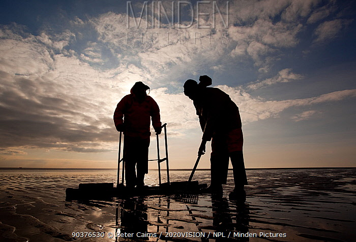 Cockle fishermen working in Morecambe Bay, Cumbria, England, UK, February Model released  -  Peter Cairns/ 2020V/ npl