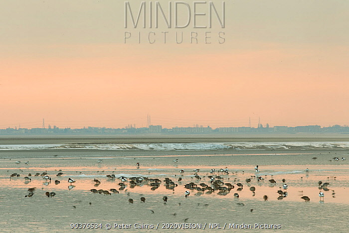 Mixed flock of Shelduck (Tadorna tadorna), Pintail duck (Anas acuta) and small waders feeding on mudflats, with town in background, Morecambe Bay, Cumbria, England, UK, February  -  Peter Cairns/ 2020V/ npl