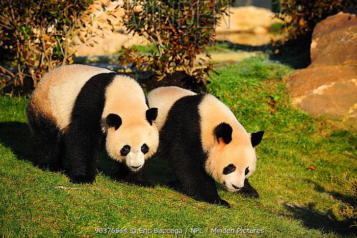 Ginat panda (Ailuropoda melanoleuca) pair, captive, Zoo Parc de Beauval, France, Endangered  -  Eric Baccega/ npl