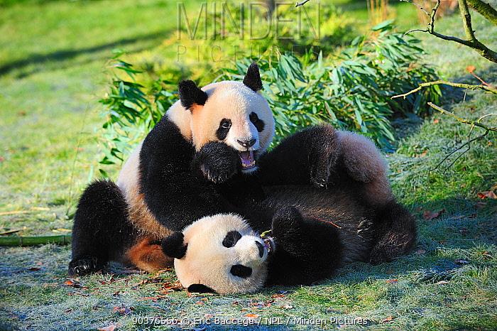 Giant panda (Ailuropoda melanoleuca) pair play fighting, captive, Zoo Parc de Beauval, France, Endangered  -  Eric Baccega/ npl