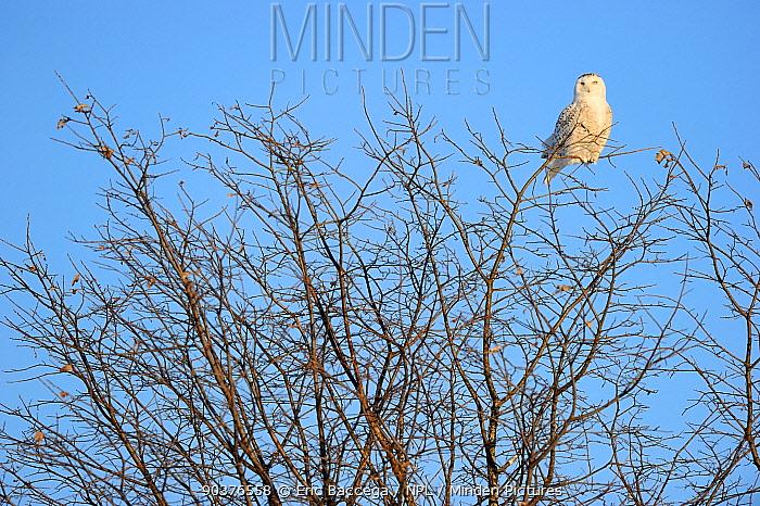 Snowy owl (Bubo scandiaca) perched on branch, Quebec, Canada, March  -  Eric Baccega/ npl