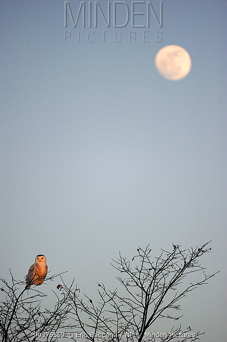 Snowy owl (Bubo scandiaca) perched on branch with full moon rising, Quebec, Canada, March  -  Eric Baccega/ npl