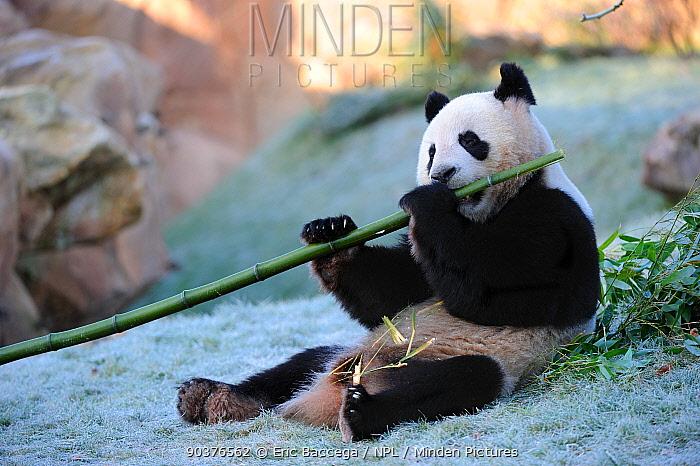Giant panda (Ailuropoda melanoleuca) eating bamboo, captive, Zoo Parc de Beauval, France, Endangered  -  Eric Baccega/ npl