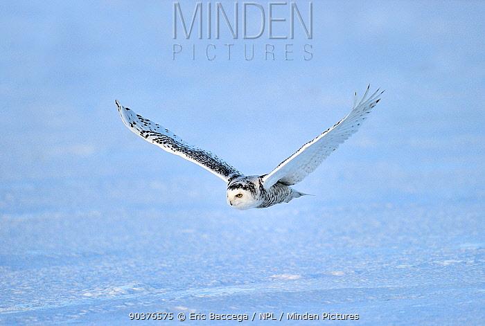 Snowy owl (Bubo scandiaca) flying over snow, Quebec, Canada, March  -  Eric Baccega/ npl