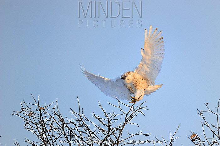 Snowy owl (Bubo scandiaca) landing in tree, Quebec, Canada, March  -  Eric Baccega/ npl