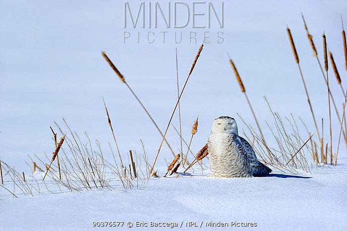 Snowy owl (Bubo scandiaca) on ground, Quebec, Canada, February  -  Eric Baccega/ npl