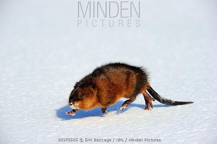 Muskrat (Ondatra zibethicus) walking on snow, Quebac, Canada  -  Eric Baccega/ npl