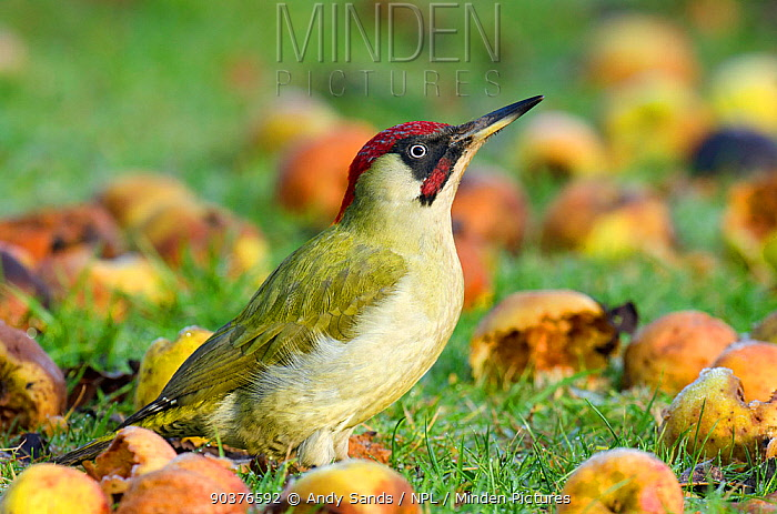 Green Woodpecker (Picus viridis) male on ground among wind-fallen apples Hertfordshire, England, UK, January  -  Andy Sands/ npl
