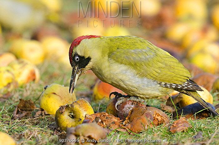 Green Woodpecker (Picus viridis) female feeding on wind-fallen apples Hertfordshire, England, UK, February  -  Andy Sands/ npl