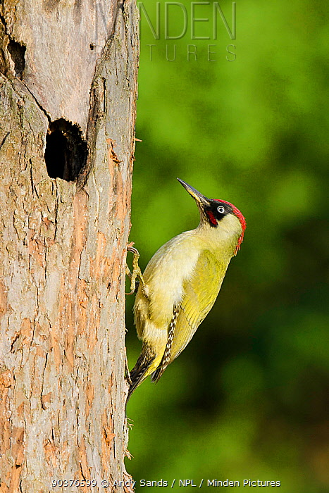 Green Woodpecker (Picus viridis) male by old nest hole in apple tree Hertfordshire, England, UK, November  -  Andy Sands/ npl