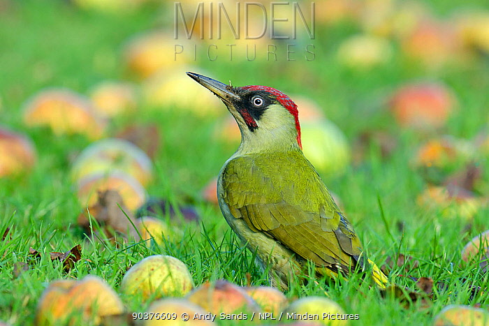 Green Woodpecker (Picus viridis) male in alert posture among fallen apples Hertfordshire, England, UK, December  -  Andy Sands/ npl
